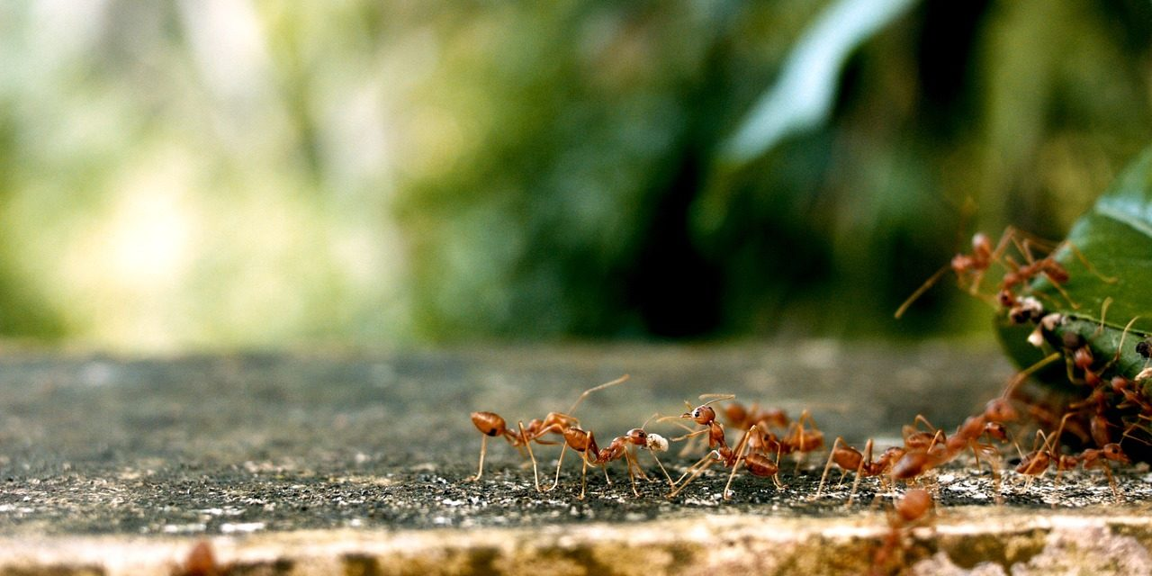 Fire Ants-Everything you Need to Know About Them